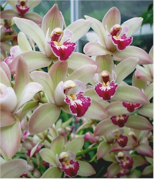Grow like a pro no 1 cymbidium orchids four seasons for Semi orchidea